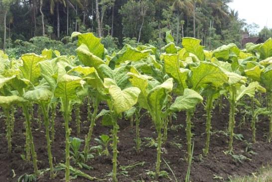 Petani Tembakau Virginia Lombok Terancam Merugi